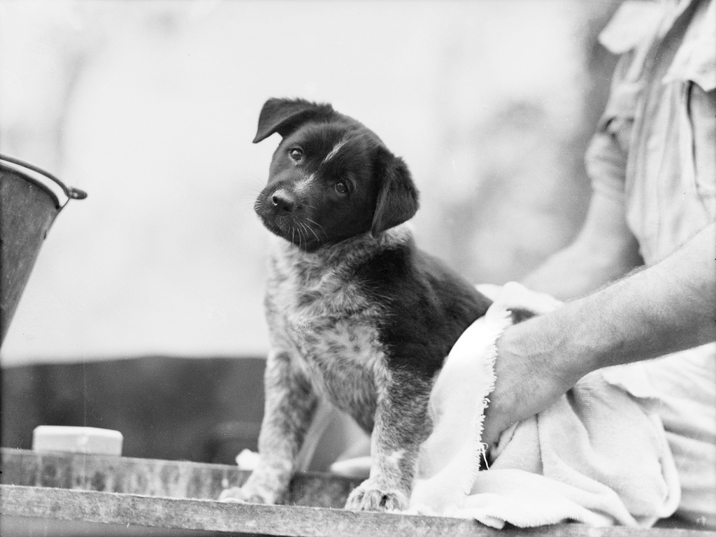 Black and white photo of puppy mascot, being dried after a bath